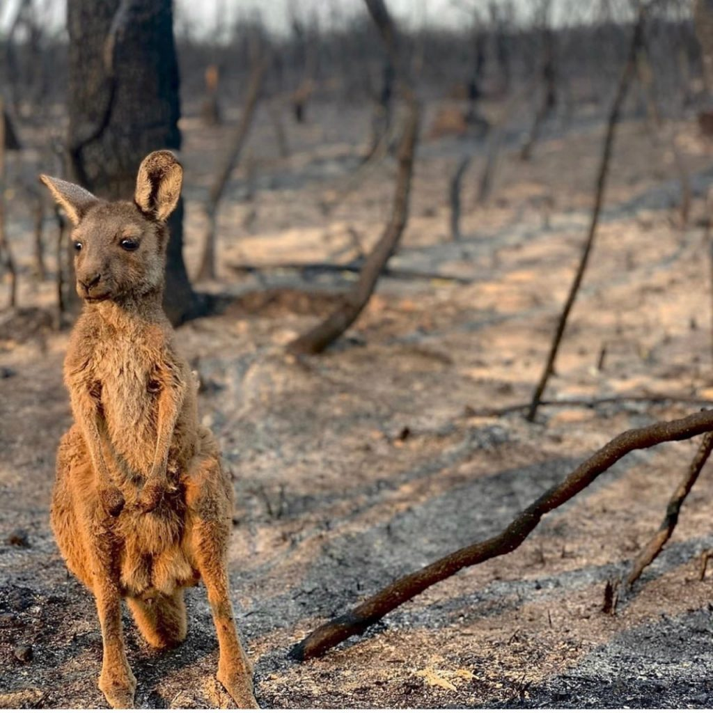 A lone kangaroo in front of burnt ground.