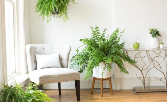Boston fern purifies air.