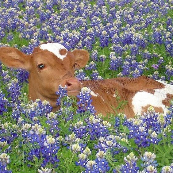 A calf in a field of purple and white flowers. Vegan in Veganuary.